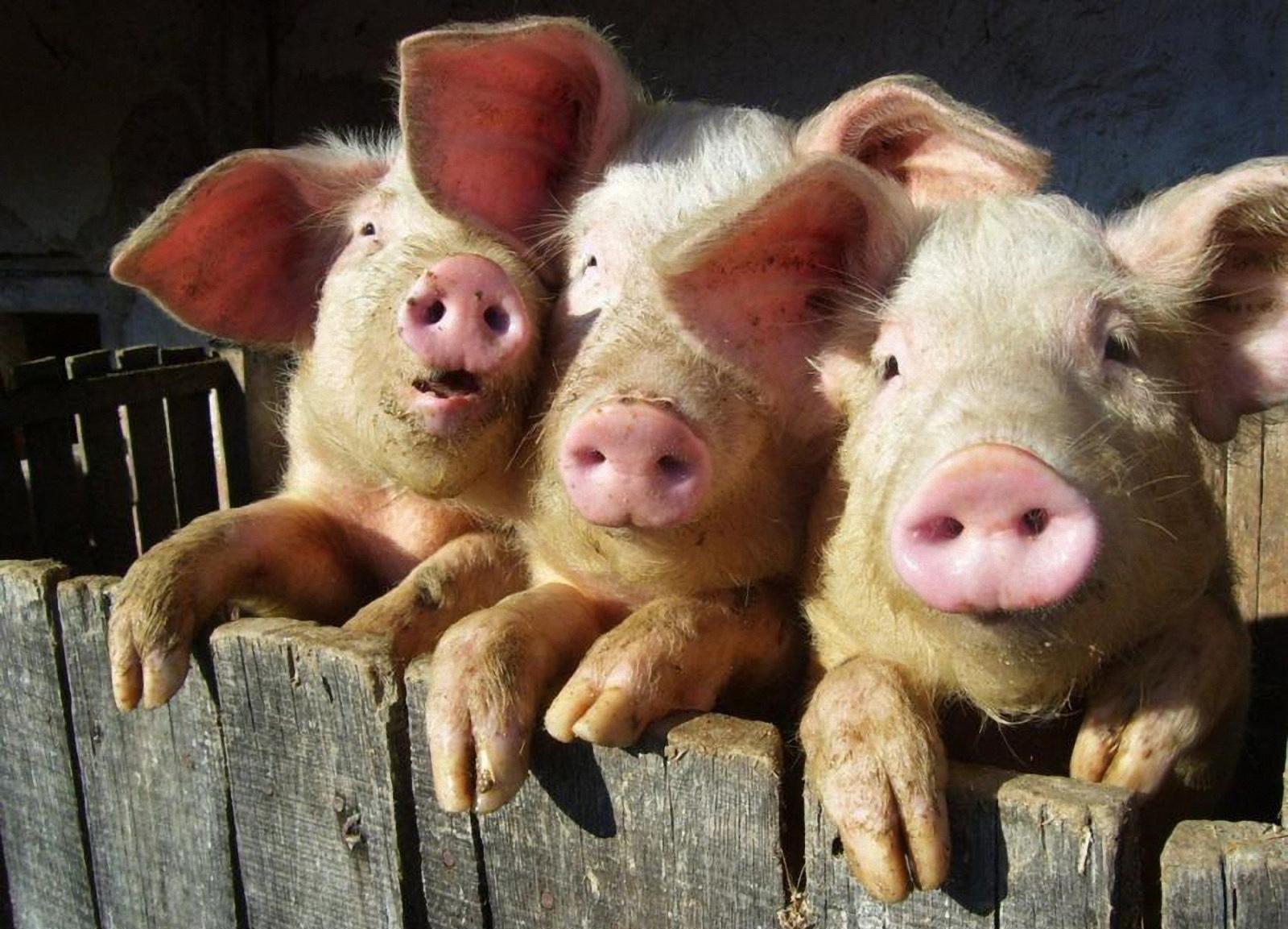 бизнес свиноферма 30 голов