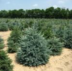 Бизнес идея: новогодние елки на продажу