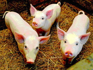 """Существовали и особые тайны ухода за свиньями:  """"Свиней скликать, глядя в окно, - в огород не полезут """"..."""