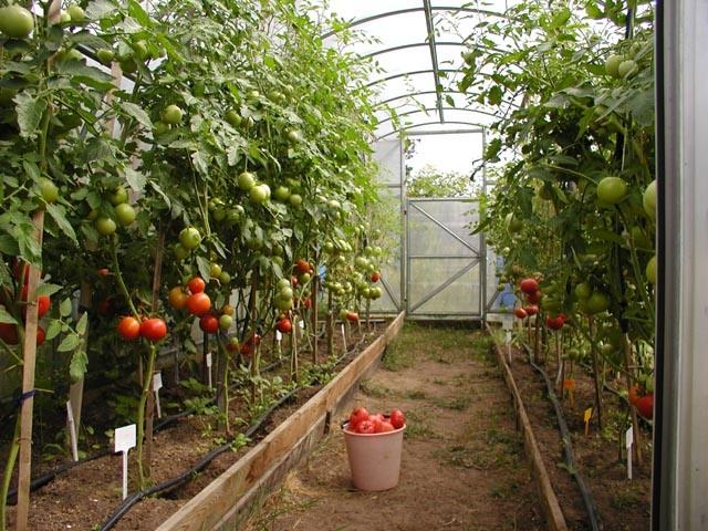 Выращивание томатов. Посев семян на рассаду