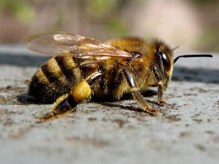 Пчеловодство на пасеках - производство меда как бизнес
