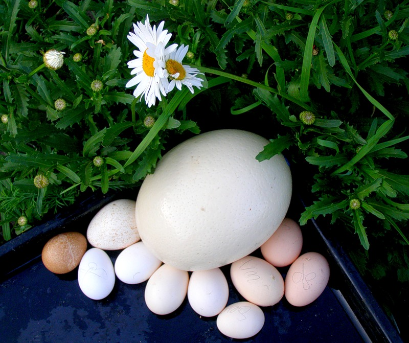 Разбить яйцо страуса трудно - скорлупа на нём толстая.  Чтобы взломать её, человек должен взять в руки молоток или...
