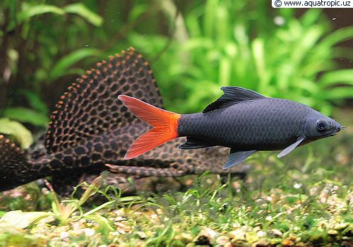 Разведение аквариумных рыбок.