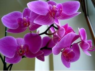 Орхидея - удивительный по красоте цветок.  В мире встречается до 35 тысяч...