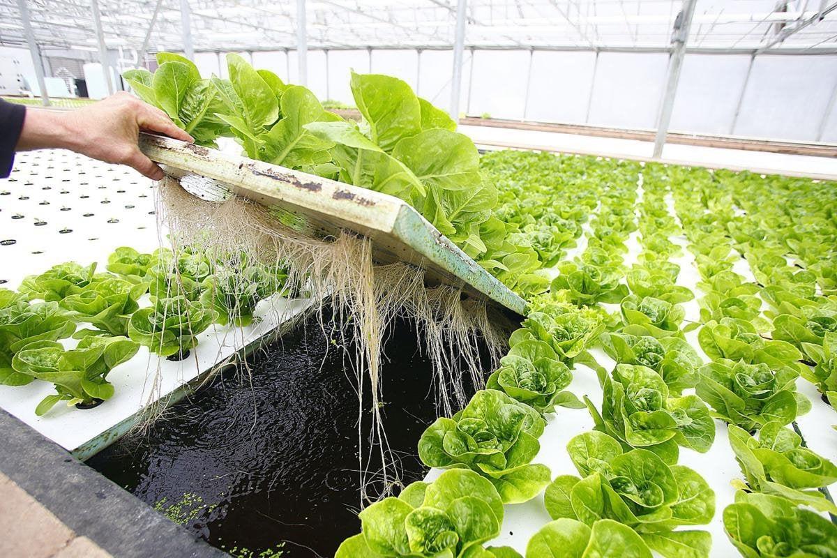 Выращивание зелени гидропоникой